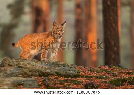 Eurasian lynx (Lynx lynx), with very nice light from sun rise #1180909876