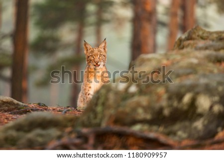 Eurasian lynx (Lynx lynx), next rock with sun rise sunshine  #1180909957