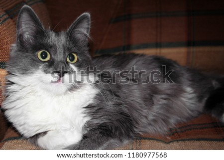 Cute gray cat with a white breast lies at home on a cozy sofa #1180977568