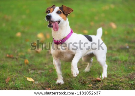 Jack Russell terrier dog in the park on grass meadow #1181052637