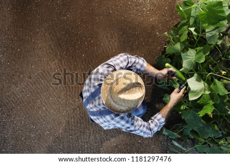 man farmer working in vegetable garden, collects a cucumber, top view and copy space template #1181297476