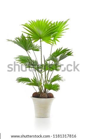 Livistona palm tree isolated on white background #1181317816