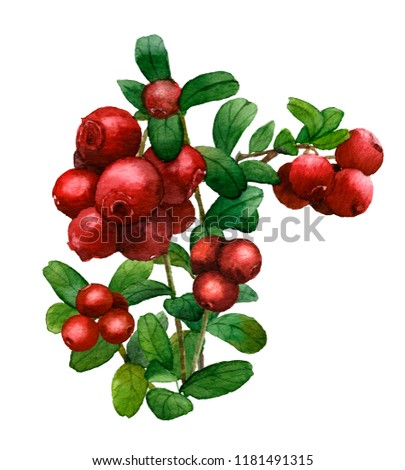 Picture of a cowberry bouquet hand painted in watercolor on the white background #1181491315
