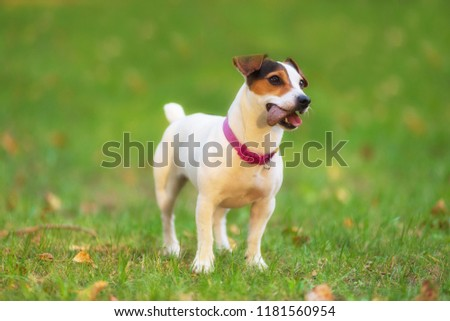 Jack Russell terrier dog in the park on grass meadow #1181560954