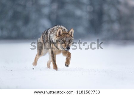 wolf in snow, stalking wolf in snow, wolf running in snow, wolf in winter  #1181589733