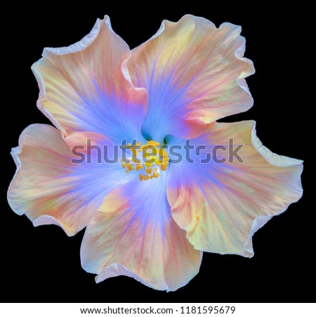 Fine art still life floral pastel color macro flower photography of a single isolated blooming yellow blue wide open hibiscus blossom on black background in top view