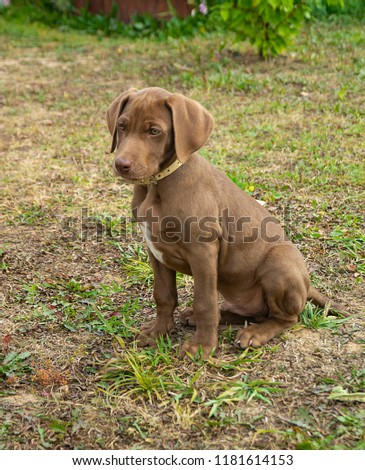 Small puppy of the german dog of the sort Kurzxaar on background of the land with green herb #1181614153