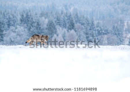 beautiful wolf in winter, wolf running in snow, attractive winter scene with wolf, beautiful winter landscape with wolf #1181694898