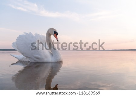 swan on blue lake water in sunny day, swans on pond, nature series Royalty-Free Stock Photo #118169569