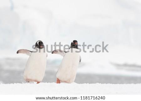 Gentoo Penguin (Pygoscelis papua) - Synchronised Dancers