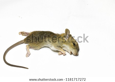 Brown rat die on the White background. #1181717272