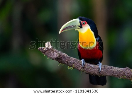 Toucan , Brazilian, Bird #1181841538