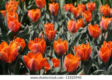 Tulips #11820940