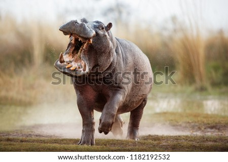 Aggressive hippo male attacking the car. Huge hippo male intimidating the opponent. Wild animal in the nature habitat. African wildlife. This is Africa. Hippopotamus amphibius. #1182192532