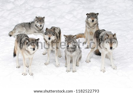 Timber wolves or grey wolves Canis lupus isolated on white background, timber wolf pack standing in the snow in Canada