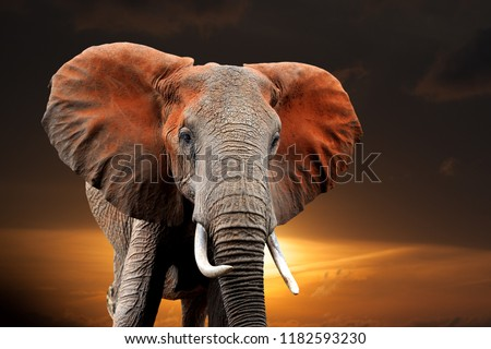 Elephant on sunset in National park of Kenya, Africa Royalty-Free Stock Photo #1182593230