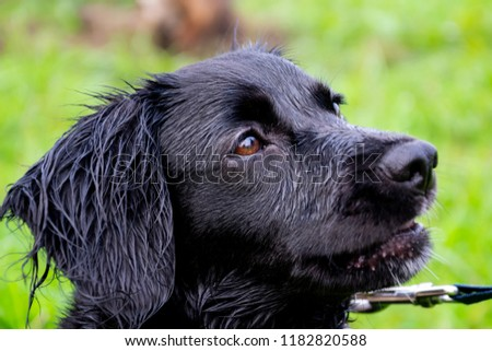 Puppy listens to the owner and performs functions on the command. Obedient and intelligent dog on a walk. Whiskers, portrait, closeup #1182820588