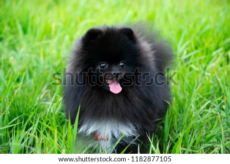 Puppy Pomeranian Spitz with its owner.  Young energetic dog on a walk. Whiskers, portrait, closeup. Enjoying, playing, green background  #1182877105