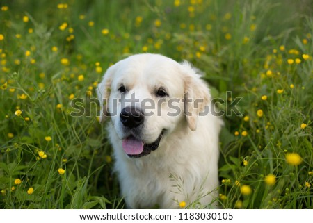 Portrait of funny golden retriever dog lying in the buttercup field in summer #1183030105