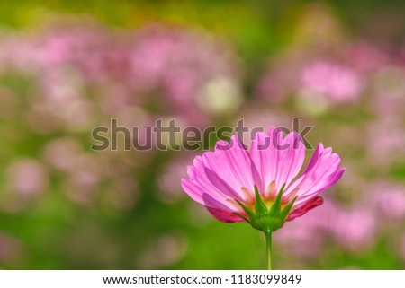 alone cosmos macro blossom summer day lightg #1183099849