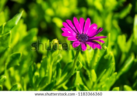 purple daisy and green leaves in nature #1183366360