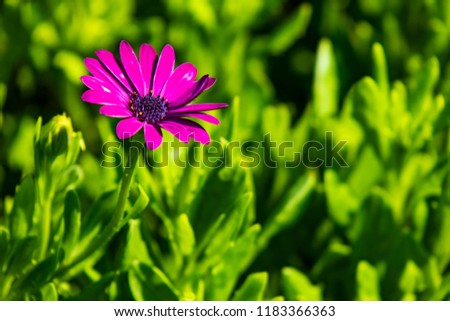 purple daisy and green leaves in nature #1183366363