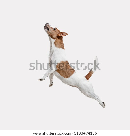 The jumping Jack Russell Terrier, isolated on white at studio #1183494136