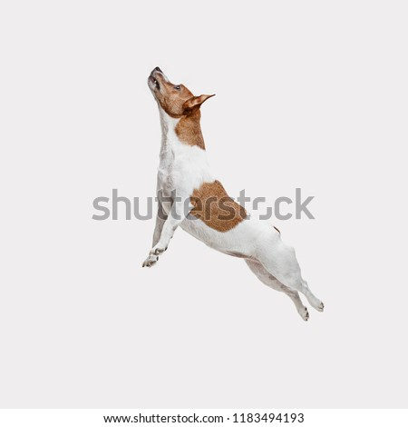 The jumping Jack Russell Terrier, isolated on white at studio #1183494193