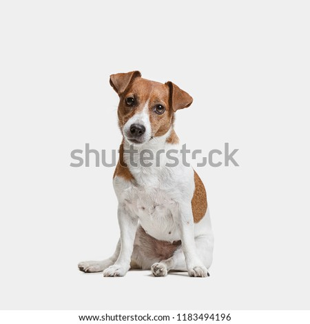 Jack Russell Terrier, isolated on white at studio Royalty-Free Stock Photo #1183494196