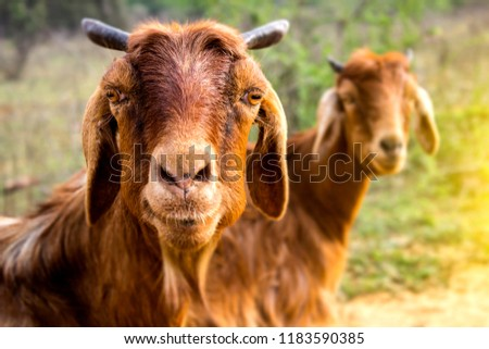 Two Goat looking at camera   #1183590385