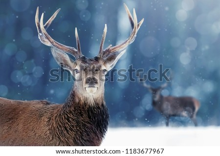 Proud Noble Deer male in winter snow forest. Winter christmas image. #1183677967