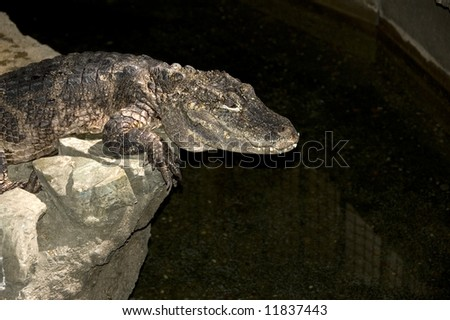 alligator perched on wet rocks in zoo exhibit #11837443
