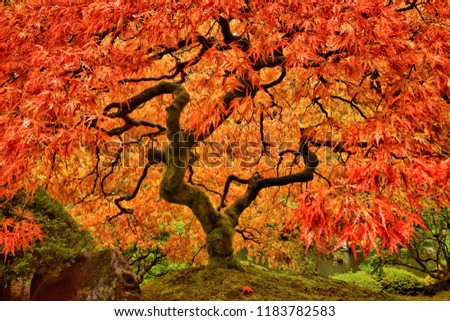 Japanese Maple Tree in Autumn with vivid colors in Portland Garden #1183782583
