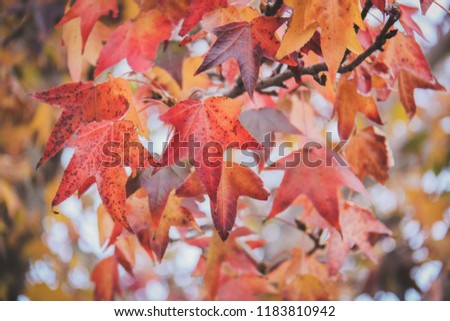Maple leaves changing color #1183810942