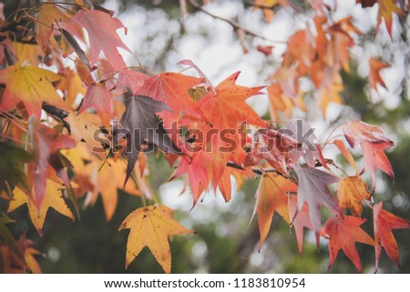 Maple leaves changing color #1183810954