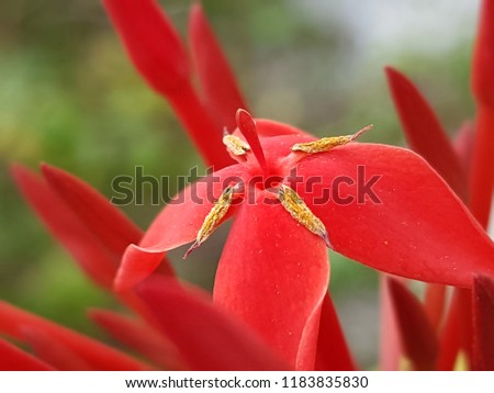 Close-up view of red ixora flower on blur backdrop. beautiful nature background concept. #1183835830
