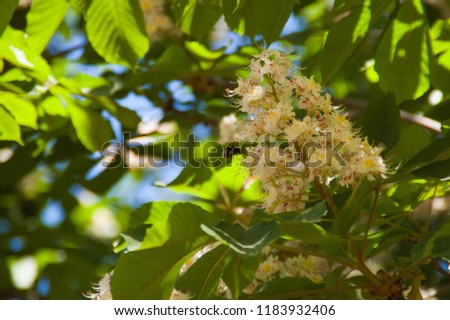 chestnut bee bumblebee nature sky leaf tree #1183932406