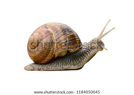 Сreeping grape snail isolated on a white background                               #1184050045