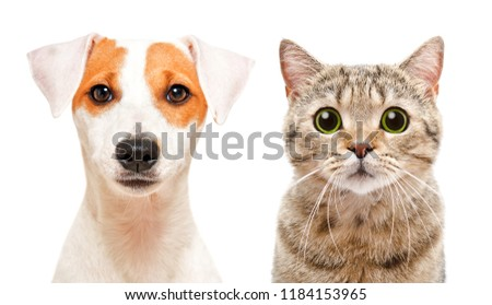 Portrait of cute young dog Jack Russell Terrier and cat Scottish Straight, isolated on white background #1184153965
