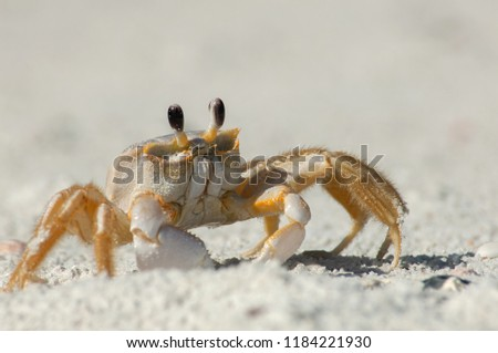 A semiterrestrial ghost crab (Ocypodinae arthropods) walks through the sand along Wiggins Pass, Florida. It is also sometimes known as a sand crab. #1184221930
