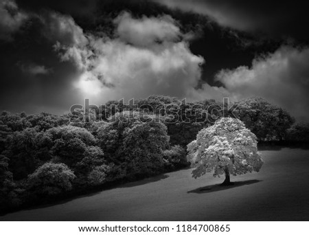 White Oak tree in field, captured in infrared black and white #1184700865