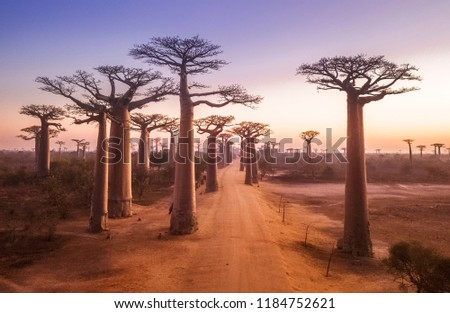 Beautiful Baobab trees at sunset at the avenue of the baobabs in Madagascar Royalty-Free Stock Photo #1184752621
