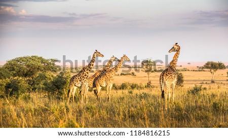 Kenya Safari mara #1184816215