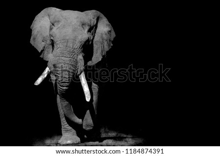 a black and white pictured elephant in all his glory