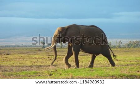 Walking elephant in amboseli national park towards the african sunset  #1184960932