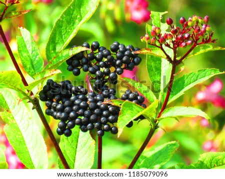 fruits of dwarf elder, Sambucus ebulus, #1185079096