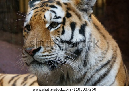 Siberian Tiger In Zoological Garden of Europe. Beautiful Horizontal Background And Close Up Of Panthera Tigris Altaica. Autumn In Zoo Park Of Germany. #1185087268