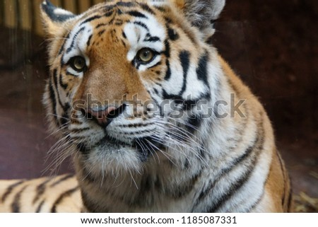 Siberian Tiger In Zoological Garden of Europe. Beautiful Horizontal Background And Close Up Of Panthera Tigris Altaica. Autumn In Zoo Park Of Germany. #1185087331