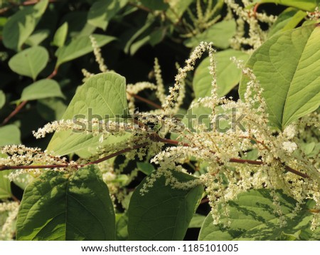 flowers of Asian knotweed, Fallopia japonica, #1185101005