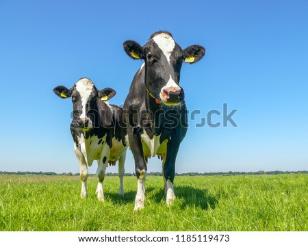 Two black and white cows,frisian holstein, standing in a pasture under a blue sky and a faraway straight horizon. #1185119473